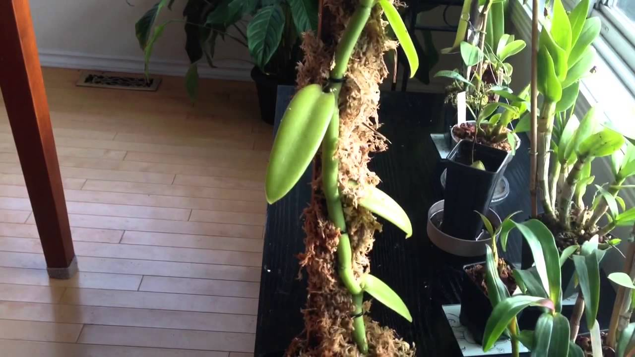Orchid Care: Growing Vanilla Orchids : My care and culture ...