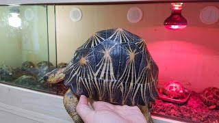 한국에서 가장 예쁜 방사육지거북(tortoise)[옥탑…