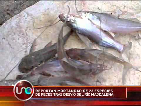 Mortandad de peces en el río Magdalena
