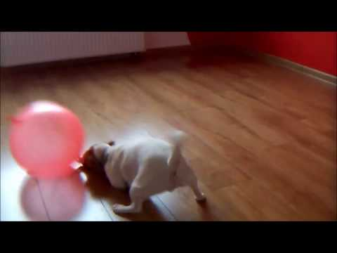 Mila- Jack Russell Terrier playing with big balloon