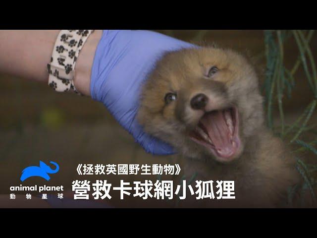 拯救卡球網小狐狸! 動物星球頻道