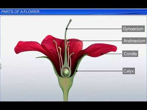 CBSE Class 11 Biology, Morphology of Flowering Plants – 5, Parts of a Flower