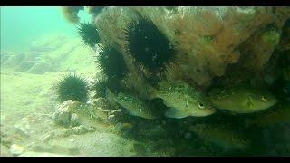 Маленькие окуни бухты Тинкан. Японское море. Подводная съёмка.