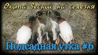 Подсадная утка и охота с ней #6. Удачная охота весной на селезня кряквы. Как добыть селезня весной.