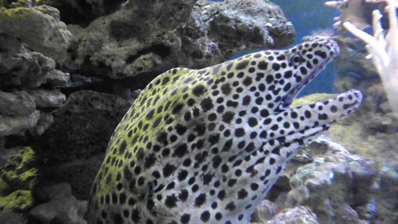 saltwater aquarium eels gymnothorax favagineus youtube