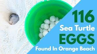 Sea Turtle Nest FOUND in Orange Beach!
