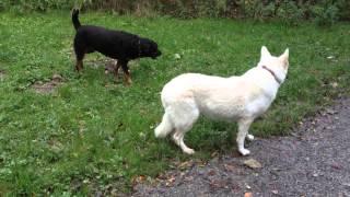 Rottweiler Vs White Shepherd (berger Blanc Suisse)