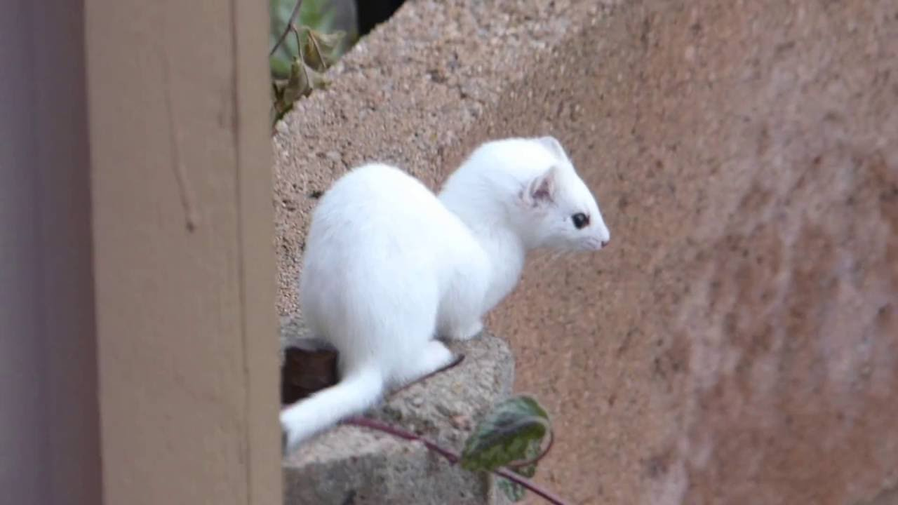 Ermine (winter white form of Short-tailed Weasel)