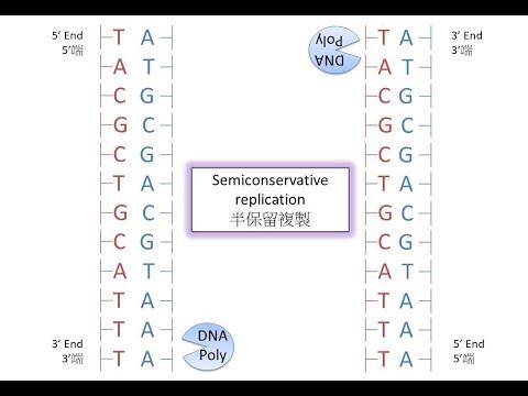 [PCR前傳] DSE Bio DNA 的半保留複製 Semiconservative Replication Of DNA