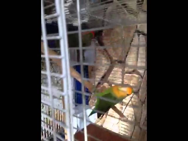 طيور روز وتغريد رووعه Youtube