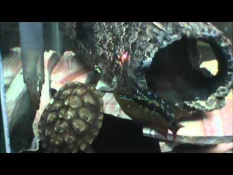 Turtles Chasing Laser Pointer - Cute and Funny