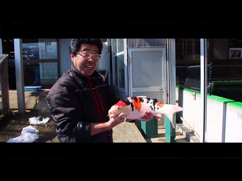 What is it like to buy Koi in Japan during the winter! Join us for our most recent trip to Japan