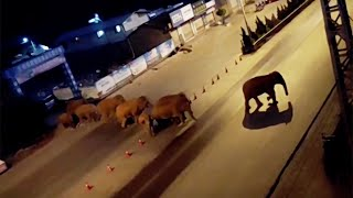 video: China scrambles to stop escaped herd of elephants from descending on city