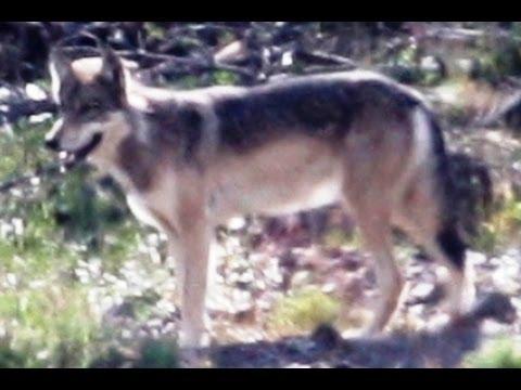 WILD WOLF, WILD BEARS, WILD TIMES! (sa8)