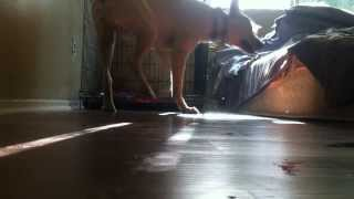 Severe Dog Separation Anxiety - Watch This Example!