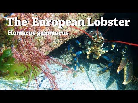 The European Lobster