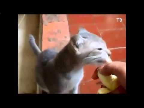 Дрессированная кошка прыгнула в пластиковый пакет и другие кошки приколы 65337
