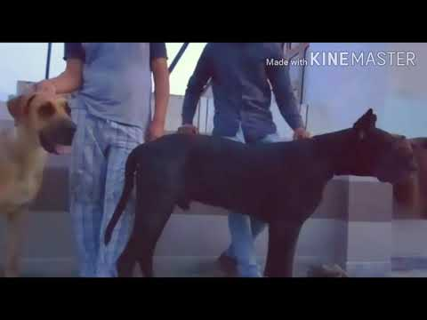 GREAT DANE BREED DOG ...FOR MATING..