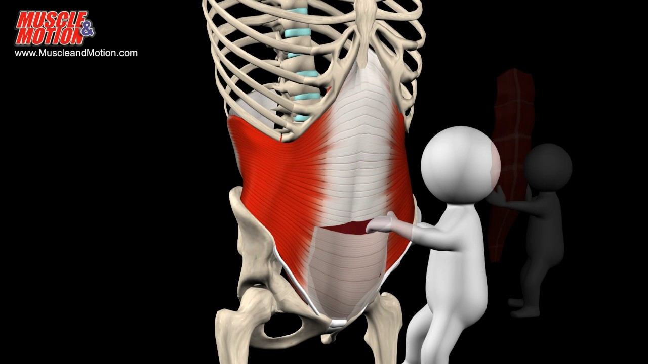 Muscles, origin, insertion, actions - YouTube