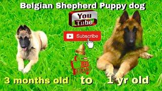My  Belgian shepherd grow from puppy to adult