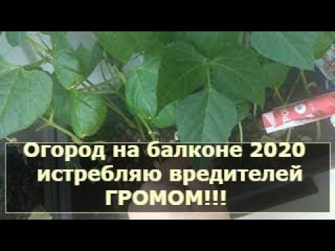Огород на балконе 2020/ Истребляю вредителей Громом!