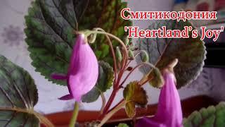 Цветение смитикадонии  'Heartland's Joy' 3 месяца спустя
