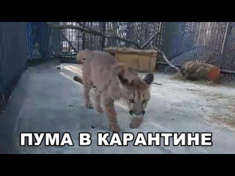 ПУМА В КАРАНТИНЕ
