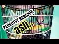 Pancingan Suara Perkutut Bangkok Asli Dijamin Pasti Ikut Nyaut  Mp3 - Mp4 Download