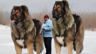 10 Razas De Perros Más Grandes Del Mundo ( PARTE II ), Razas de Perros