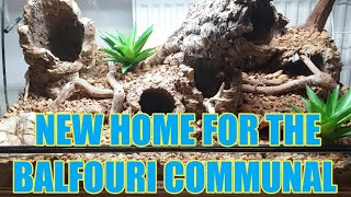 Massive M. balfouri Communal BIG UPDATE!! New Home For The Colony