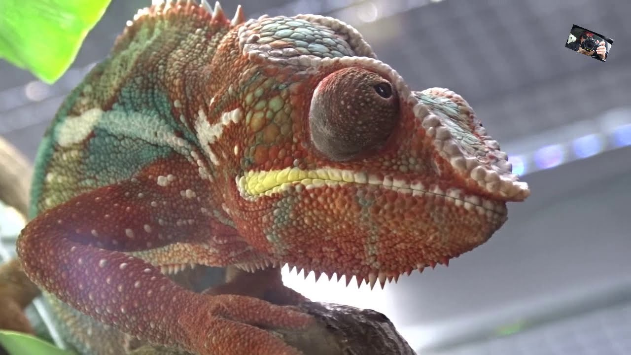 Quel est le secret du caméléon pour changer de couleur
