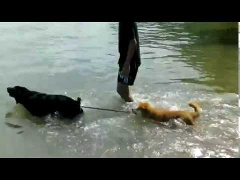 Shiba-Inu Kenzo takes swimming lessons from his buddy