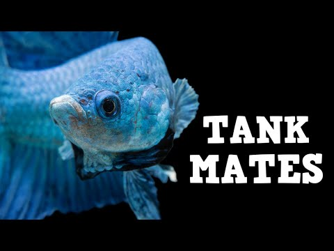 Top 10 Tank Mates For Bettas