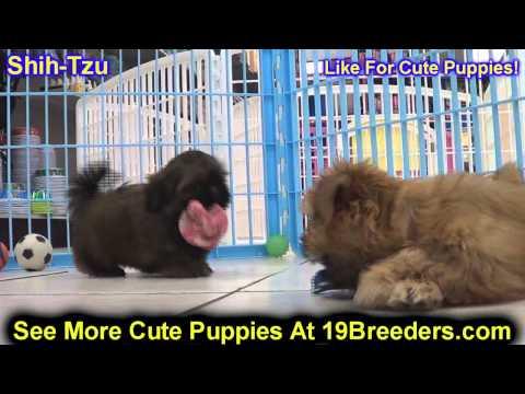 Shih Tzu, Puppies, For, Sale, In, East Honolulu, Hawaii, HI, Makaha, Pukalani, Haiku Pauwela, Maili,