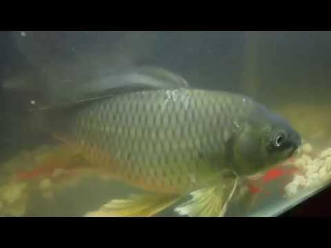 Loài Cá Chép Hóa Rồng Cực Hiếm