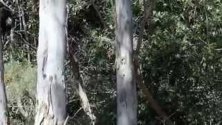 Goanna Takes To Tree by 8 Figure Adventurers