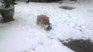 Cairn Terrier Et Son Ballon Dans La Neige