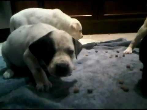 10 German Shorthair Pointer/Lab mix puppies playing