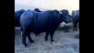 Special Nili Bull Buffalo  Dairy Farm ,Lahore,Pakistan