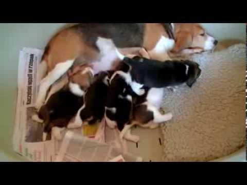 Beagle szczeniaki 3 tygodnie / puppies three weeks old