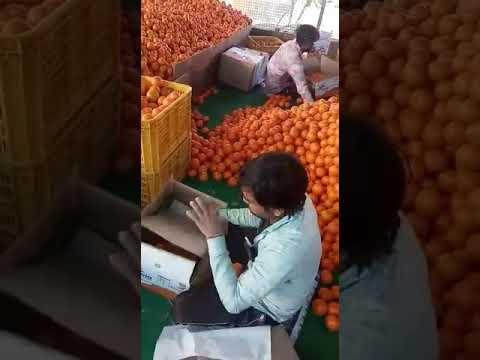Kinnow Season Proved Profitable For Farmers In Abohar Dr J S Bhatti Deputy Director Horticulture Youtube