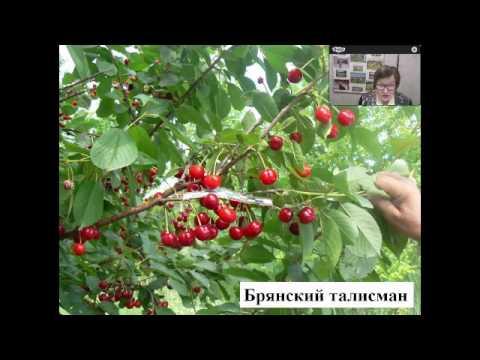МОИП Видеоконференция  М В Каньшина Сорта  вишни и  черешни