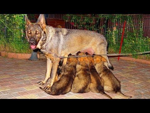 Щенки Немецкой овчарки зонарно-серого окраса. Puppies Of The German Shepherd.