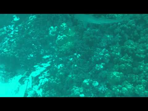 White tip reef shark at FFS