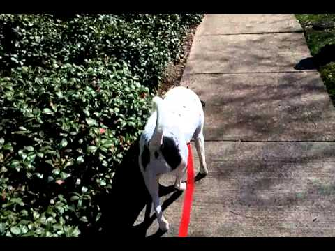 The Dog that can SHAKE! - Sally - Dalmation Mix