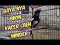 Kacer Ngamuk Setelah Terapi Ekstrem  Mp3 - Mp4 Download