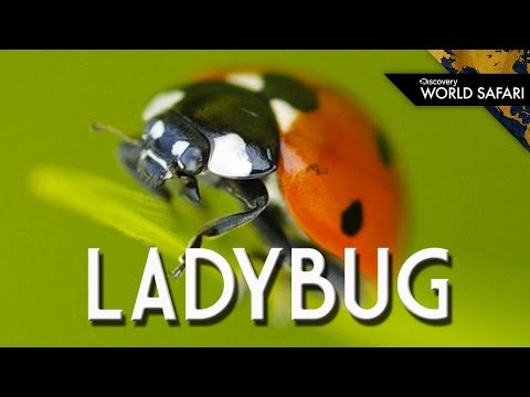 Ladybugs Come In Many Different Colors