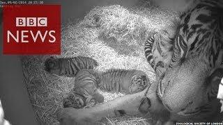 3 cute Sumatran tiger cubs at London Zoo - BBC News