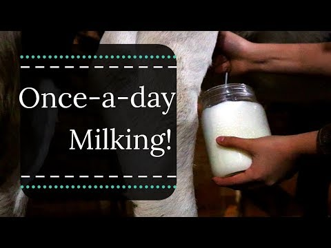 Once-a-day Milking |  Grass-fed Dairy Cow | Daily Milking Routine