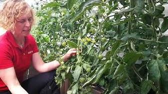 Tomaatin alalehtien poistaminen parantaa ilmankiertoa ja nopeuttaa hedelmien kypsymistä.